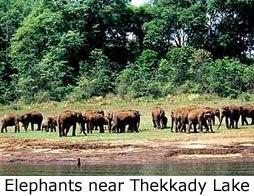 Elephant Herd on the Thekkady Periyar lake shores come to have a drink of water